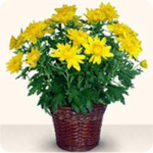 Хризантеми в саксия (малка – 20 см.)